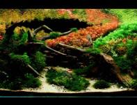 Neste aquário procurei usar como inspiração o outono japonês. Época em que as florestas japonesas e suas árvores se preparam para o intenso inverno do hemisfério norte. Koyo é como os japoneses chamam a explosão de cores que acontece nas florestas,  as folhas das árvores antes de caírem mudam de cor em tons de amarelo,  vermelho e verde, criando imagens magníficas como verdadeiras obras de arte.Para interpretar tal cenário foi preciso uma grande variedade de plantas de caule de diferentes famílias e cores,  graças a Chácara Takeyoshi e suas plantas consegui obter um grande resultado de cores e saúde das plantas.Com este aquário obtive a 28° Colocação no IAPLC 2012 e a 3ª Colocação no CBAP de 2012