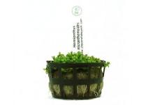 Foto produto: Hemianthus micranthemoides