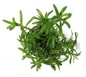 Foto produto: Heteranthera zosterifolia