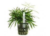 Foto produto: Eusteralis verticillata