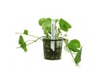 Foto produto: Hidrocotyle leucocephala