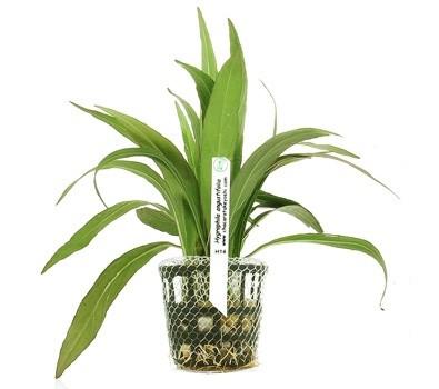 Foto produto: Hygrophila angustifolia