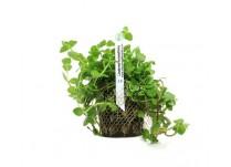 Foto produto: Lindernia rotundifolia