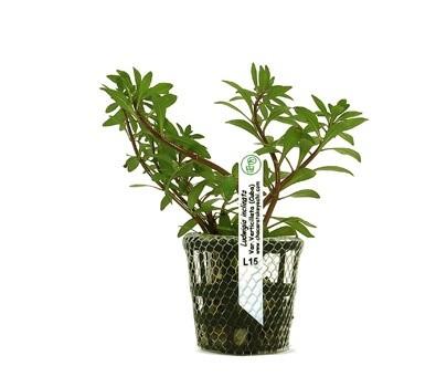 Foto produto: Ludwigia inclinata var. Verticillata (Cuba)