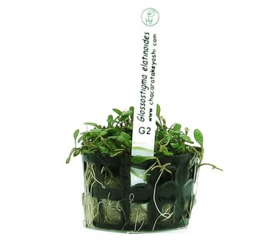 Foto produto: Glossostigma elatinoides