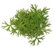 Foto produto: Ranunculus papulentus