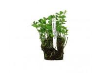 Foto produto: Marsilea quadrifolia