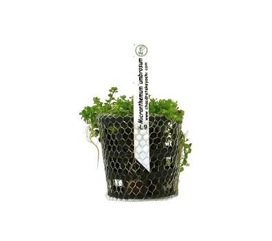 Foto produto: Micranthemum umbrosum