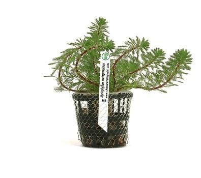Foto produto: Myriophyllum matogrossense