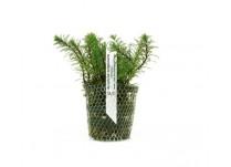 Foto produto: Myriophyllum matogrossense (Amano)