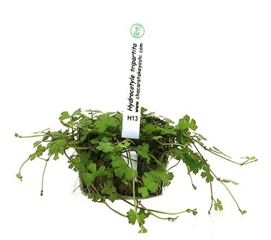 Foto produto: Hydrocotyle tripartita