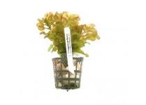 Foto produto: Potamogeton perfoliatus