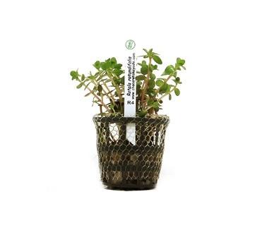 Foto produto: Rotala rotundifolia
