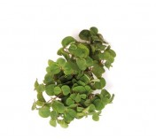 Foto produto: Phyllanthus fluitans