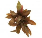 Foto produto: Alternanthera reineckii (Lilacina)
