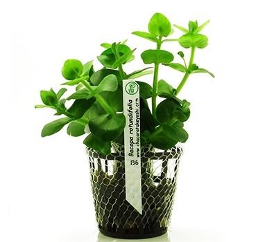 Foto produto: Bacopa rotundifolia