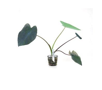 Foto produto: Colocasia esculenta