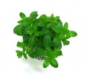 Foto produto: Ludwigia inclinata Green