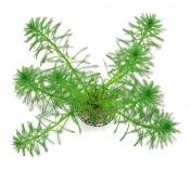 Foto produto: Myriophyllum aquaticum