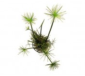 Foto produto: Cyperus papyrus (Nanus)