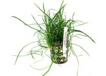 Foto produto: Lilaeopsis mauritiana